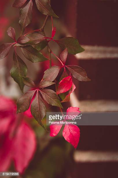 Red leaf of a vine