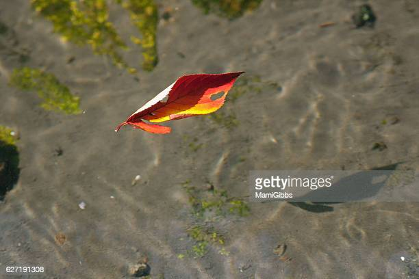 red leaf on the water - mamigibbs stock photos and pictures