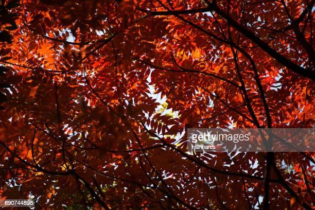 red leaf - オータムインターナショナル ストックフォトと画像