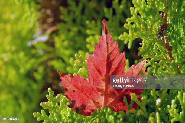 red leaf - jade nimmo - fotografias e filmes do acervo