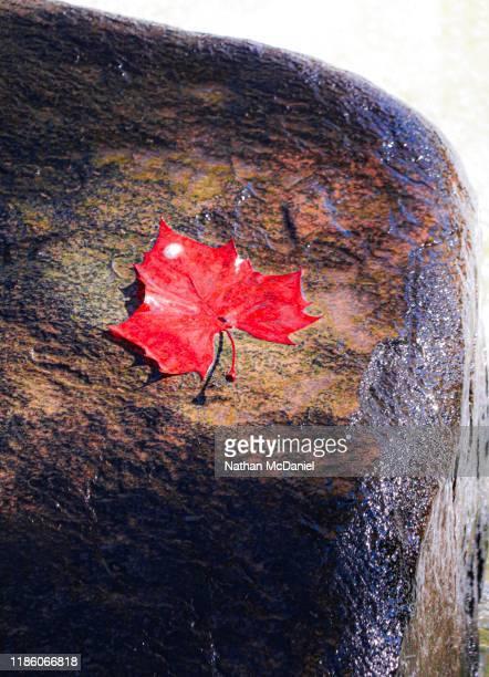 red leaf rests large rock