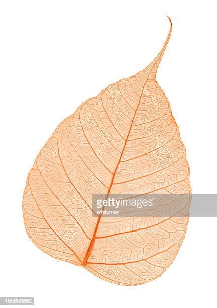 Red leaf skeleton