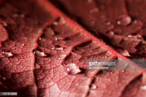red leaf with water droplets - blood vessels stock pictures, royalty-free photos & images