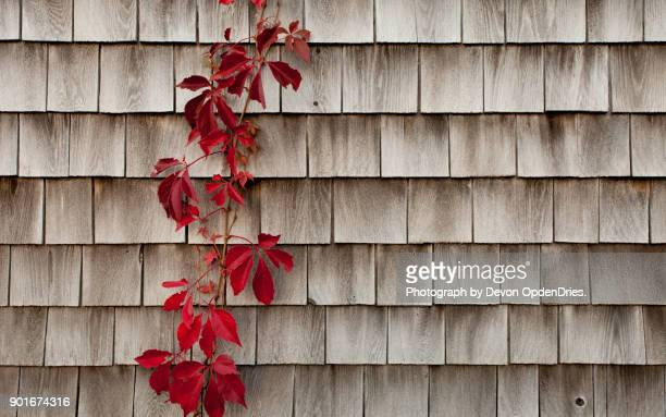 red leafy vine on wood siding - herpes zoster foto e immagini stock