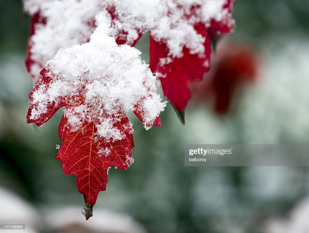 Red Leaves and Snow : Stock Photo