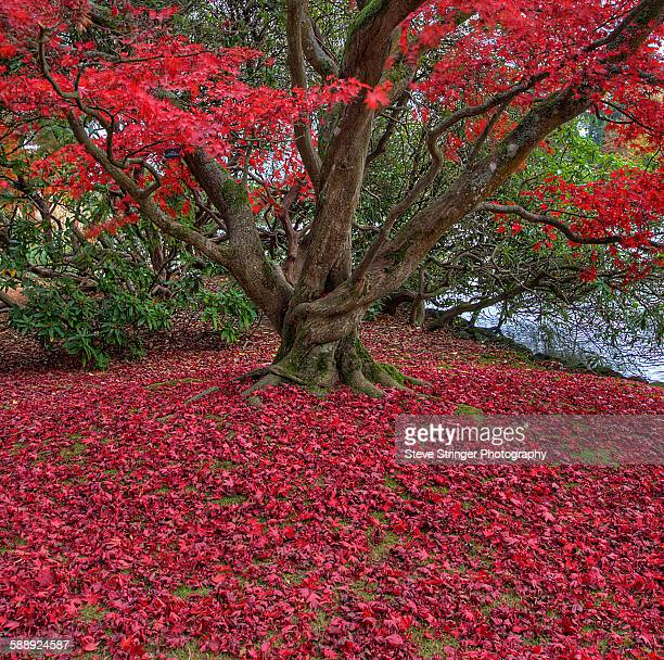 Red Leaves and tree