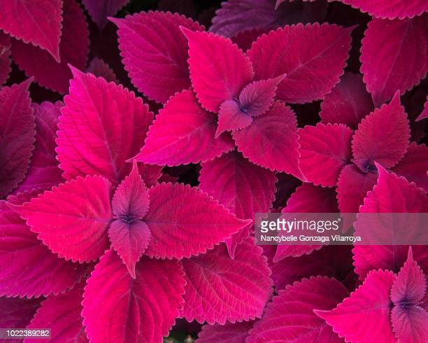 red leaves of coleus - lamiaceae - tropical flower stock photos and pictures