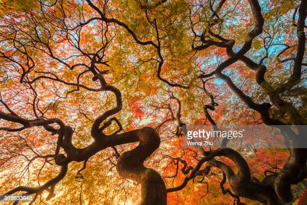 red leaves - japanese tree stock photos and pictures