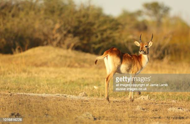 red lechwe at sunset in the okavango delta - moremi wildlife reserve stock photos and pictures
