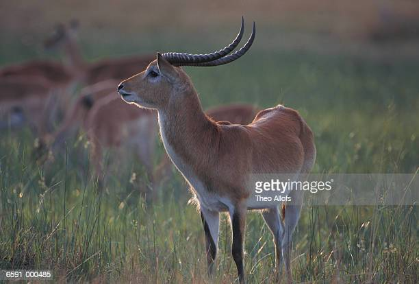 Red Lechwe in Meadow