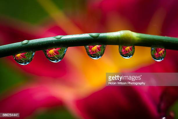 red lily drops - lily wilson stock pictures, royalty-free photos & images