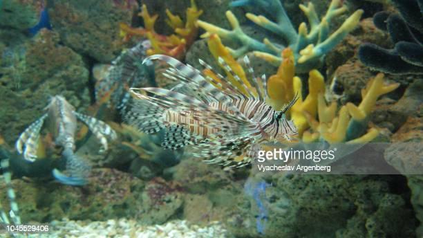 red lionfish (family scorpaenidae), a venomous coral reef fish - argenberg bildbanksfoton och bilder