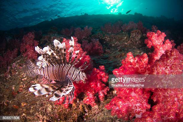 red lionfish (pterois volitans) swims among red soft corals - indo pacific ocean stock pictures, royalty-free photos & images