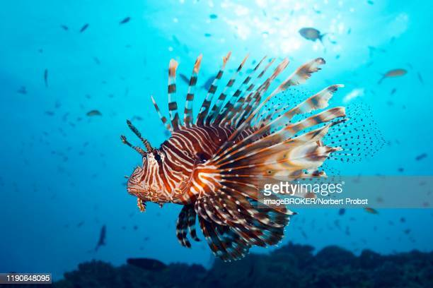 red lionfish (pterois volitans) swims over coral reef in the backlight of the sun, great barrier reef, unesco world heritage, pacific - exotic_species stock pictures, royalty-free photos & images