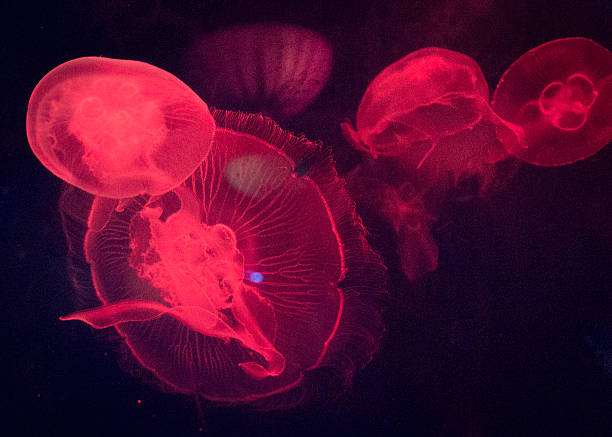 Red Lit Jellyfish