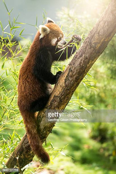 Red little panda (Ailurus fulgens)