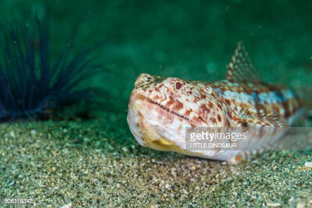 Red lizard fish (Synodus ulae  Schultz, 1953) on the sandy ocean floor