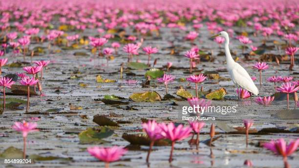 Red Lotus Sea, Udon Thani.