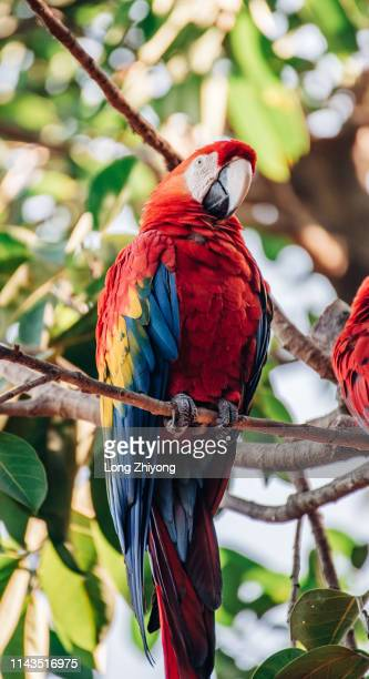 red macaw - scarlet macaw stock pictures, royalty-free photos & images