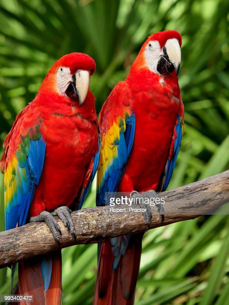 red macaws - scarlet macaw stock pictures, royalty-free photos & images