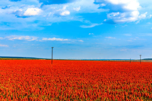 Red Maize Field