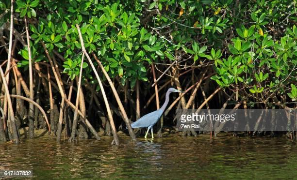 red mangrove (rhizophora mangle) and a little blue heron (egretta caerulea) - florida, usa - stuart florida stock pictures, royalty-free photos & images