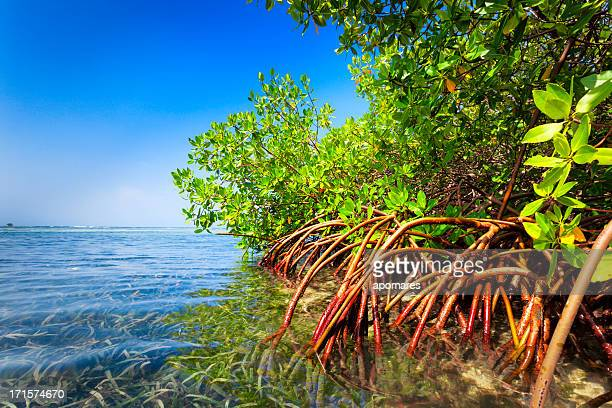 red mangrove forest and shallow waters in a tropical island - mangrove tree stock pictures, royalty-free photos & images