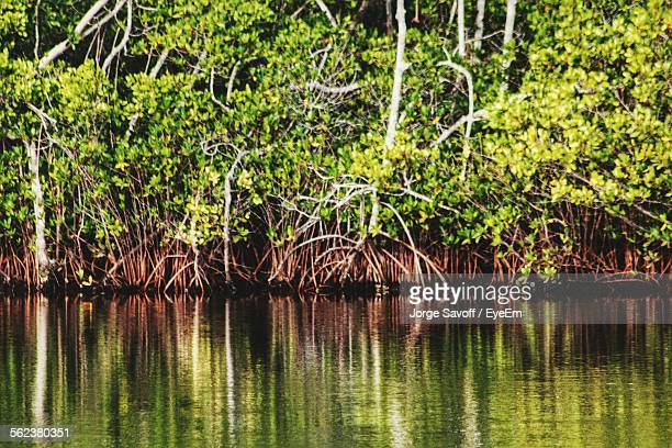 Red Mangroves Growing In Lake