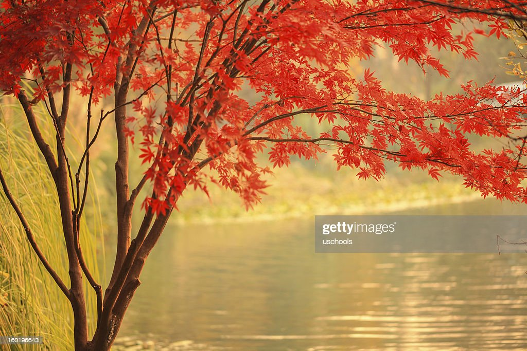 Red Maple besides river : Stock Photo