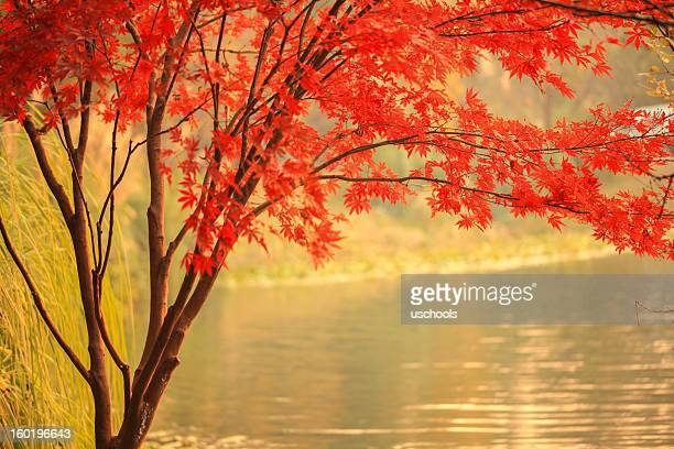Red Maple besides river