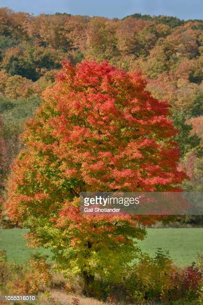 Red Maple in the Landscape