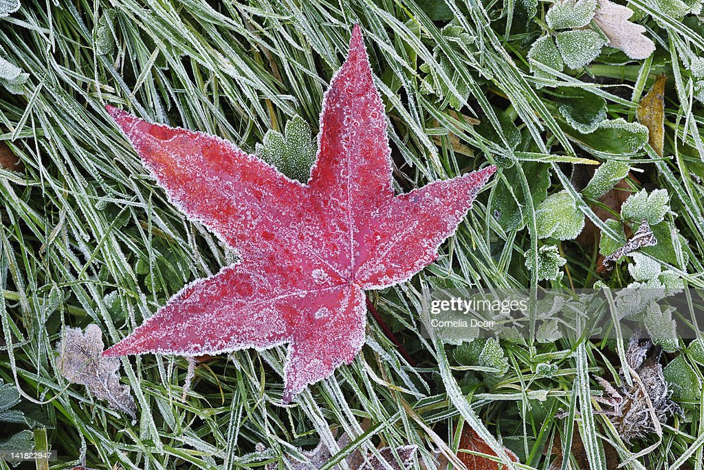 Red maple leaf on frosted grass : Stock Photo