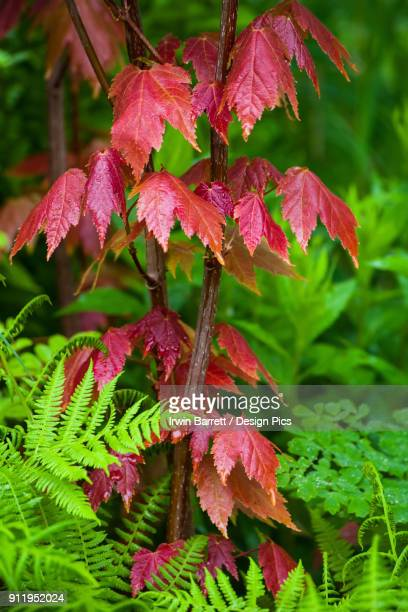 red maple leaves and ferns in springtime - bedford nova scotia stock pictures, royalty-free photos & images