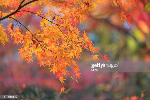 red maple leaves background in kyoto, japan - 紅葉 ストックフォトと画像