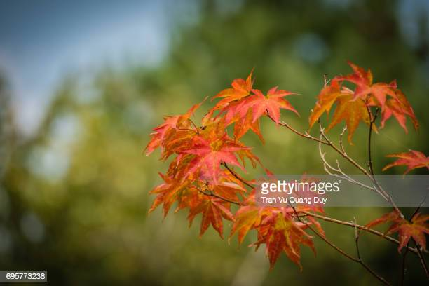 Red maple leaves in Nami island, South Korea