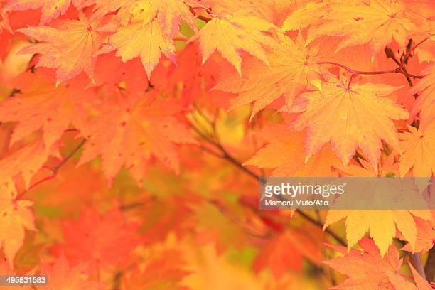 red maple leaves, japan - 八幡平市 ストックフォトと画像
