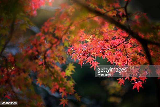 Red maple leaves on dark background.