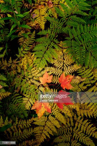 red maple leaves on ferns, hiawatha national forest, upper peninsula of michigan, usa - hiawatha national forest stock pictures, royalty-free photos & images