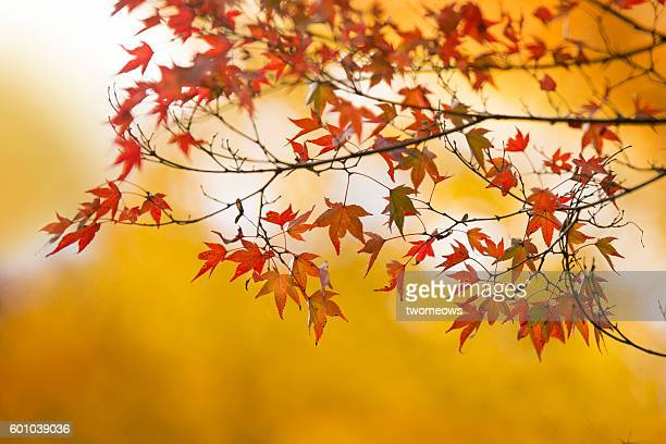 Red maple leaves on golden yellow colour background.