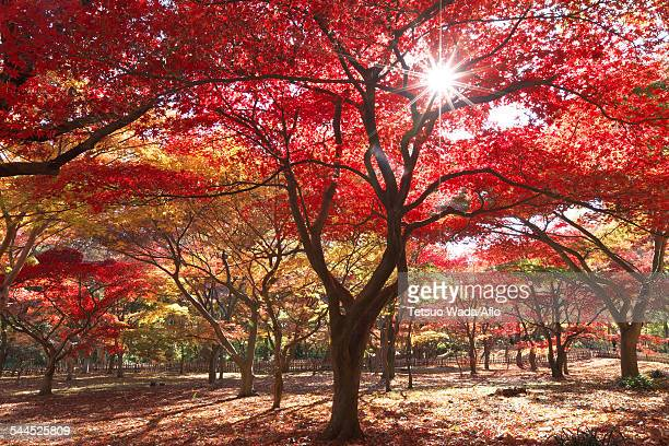 red maple leaves - chofu stock pictures, royalty-free photos & images