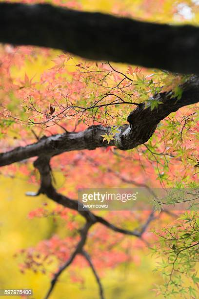 Red maple leaves turning red in Nagoya Japan.
