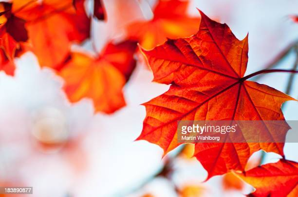 red maple - canada stock pictures, royalty-free photos & images