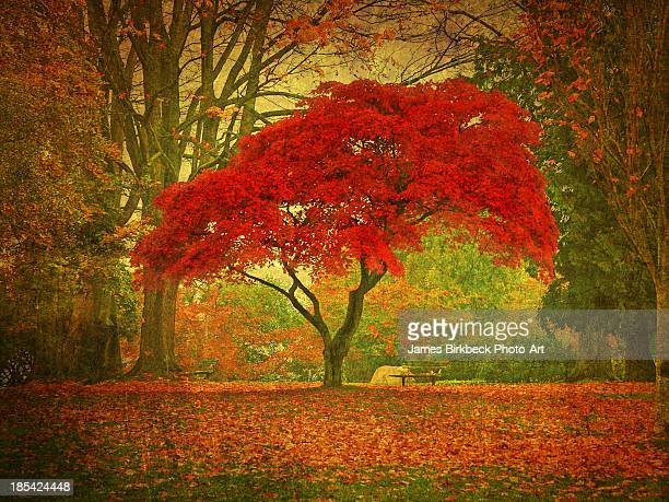 red maple - maple tree stock pictures, royalty-free photos & images