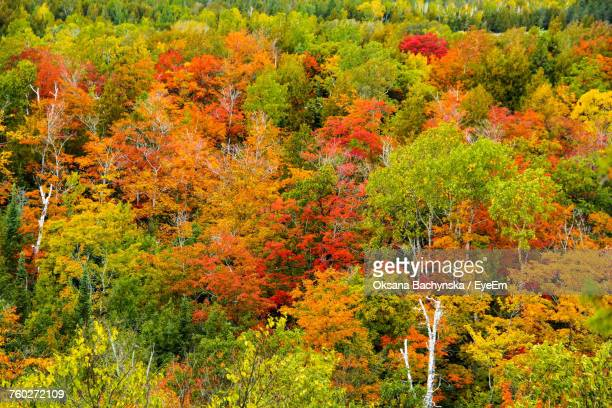 Red Maple Tree In Forest During Autumn