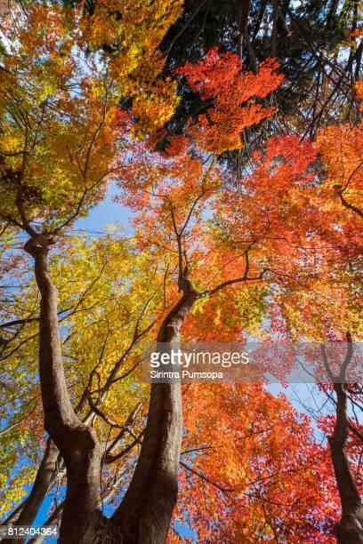 Red maple tree in Japan travel autumn season at Showa Memorial Park, Tokyo, Japan
