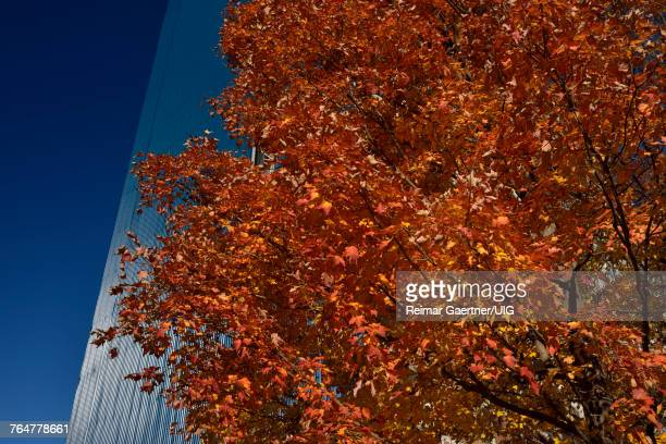 Red Maple tree in the Fall with blue cladding on high rise apartment building