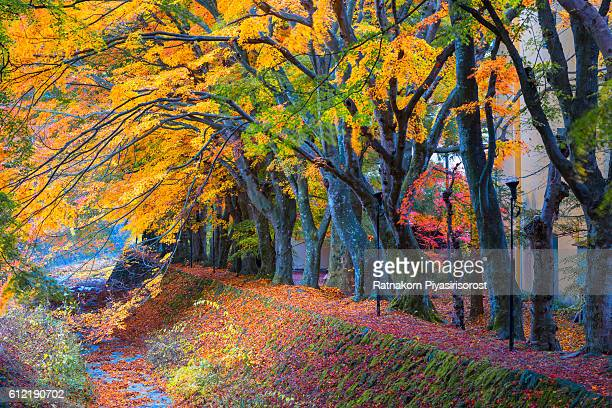 Red Maple Tree Leaves in Autumn, Japan