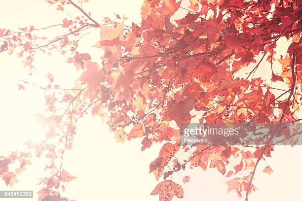 red maple tree leaves - lifeispixels stock pictures, royalty-free photos & images