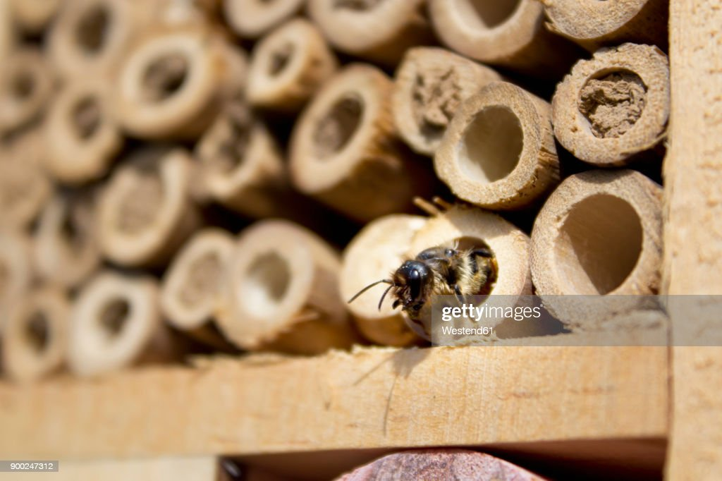 Red mason bee at insect hotel : Stock-Foto