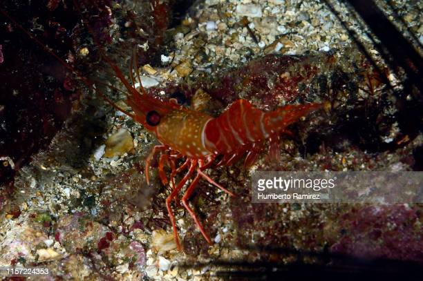 red night shrimp. - shrimps stock pictures, royalty-free photos & images